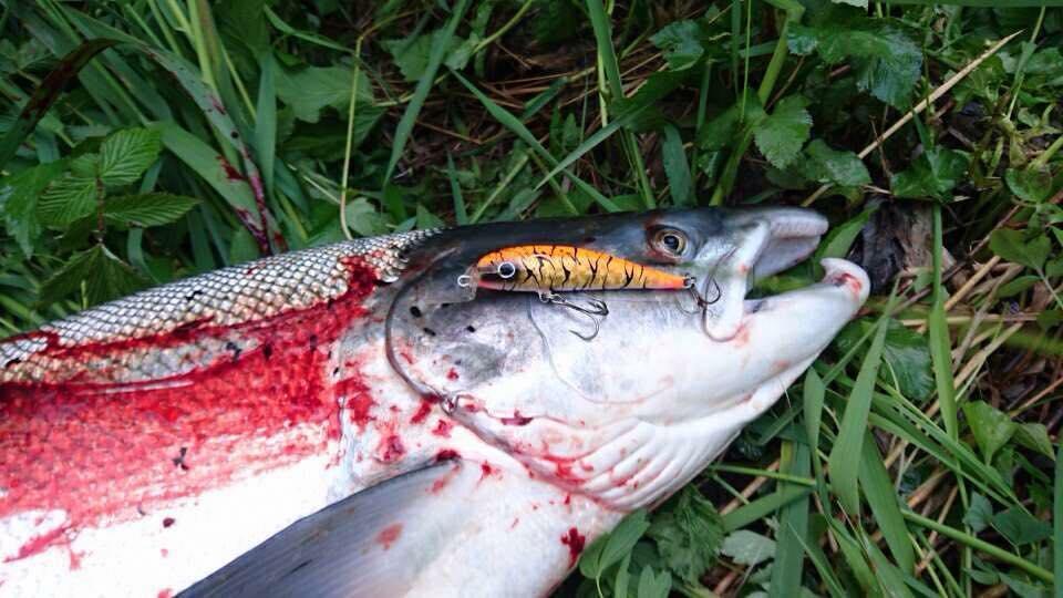 fiske laks med sluk